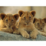 National-Geographic-Kids-Super-African-Lions-and-Lion-Cubs-3D-Puzzle-22.jpg
